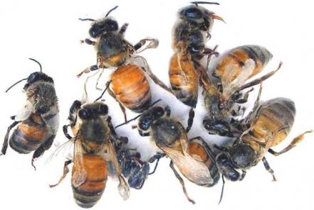 Что мы знаем о пчелиных вирусах?